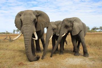 Aluminium Prints Elephant Close up of three wild african elephants in Botswana - Family Life