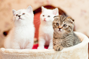 three kittens two white and one gray