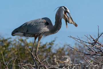 Heron Feeding Fish