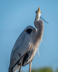 Heron Looking Up