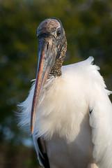 Portrait of Wood Stork