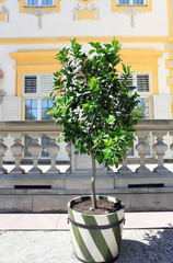 Lime tree with fruits grows in tub