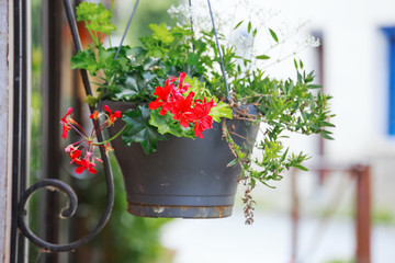 Colorful Geranium pot hanging on the street