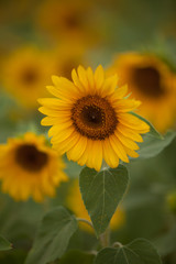 The Patch of Sunflowers