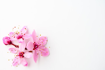 Vivid pnk cherry blossom on white background. Negative space. Wall mural