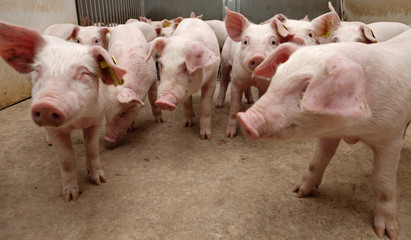 Pigs breeding. Piglets in stable
