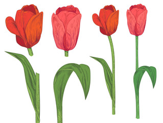 Set of tulips: red, pink flowers, green leaves, stems on white background. Botanical illustration for design, hand draw in engraving sketch vintage style, vector