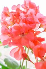 Beautiful pink geranium