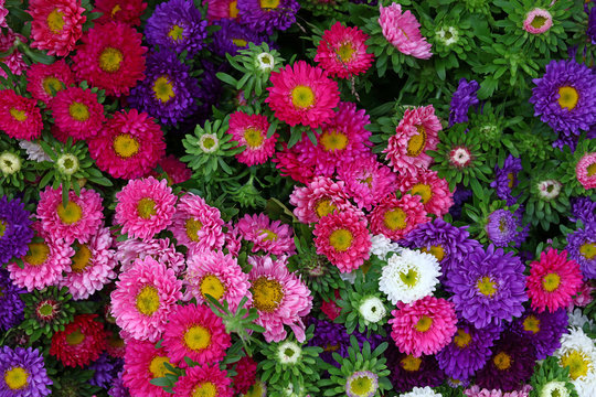Close up background of colorful aster flower heads