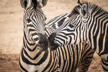 Canvas Prints Zebra Portrait of Chapmans Zebra (Equus quagga chapmani).