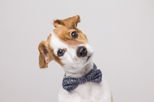 cute young small white dog wearing a modern bowtie. Sitting on the white wood floor and looking at the camera.White background. Pets indoors