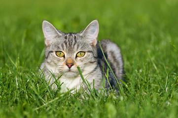 Grau getigerte Katze liegt in einer WIese