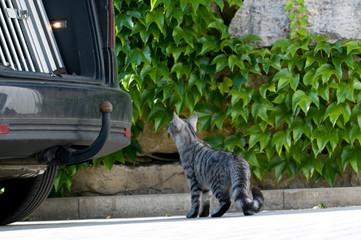 Neugierige Katze schaut in den Kofferraum eines Autos