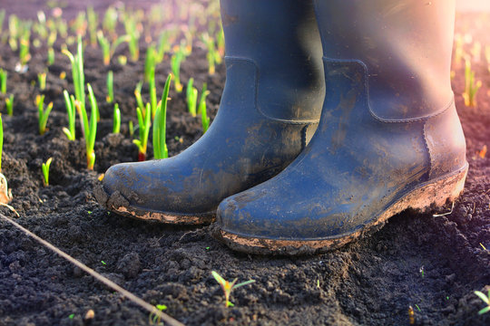 Farmer rubber boots in a garden of a agriculture farm. Background with a sprouts of a plants at early morning.