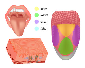 Anatomy human tongue parts. Illustration depicting the anatomy of taste. Tongue with its four areas (bitter, sour, sweet and salty)