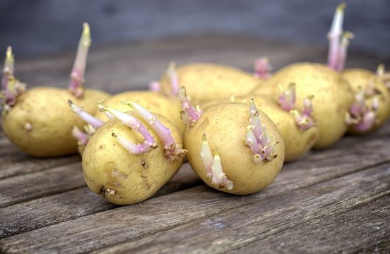 Farming,cultivation, agriculture and care of vegetables concept: seedlings of potatoes with sprouts prepared for planting on a wooden table.