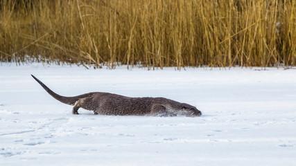 European Otter in winter