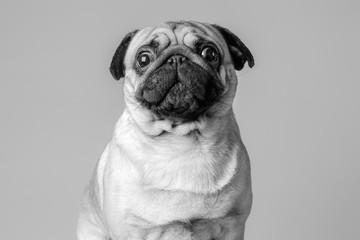 Jeune petit chien de race carlin