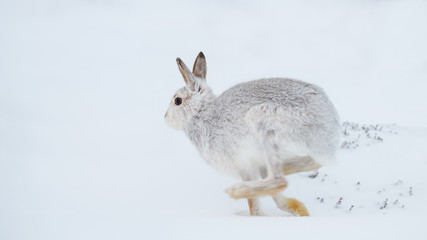 Mountain hare running (Lepus timidus) in winter snow, Scottish Highlands, Scotland, United Kingdom, Europe