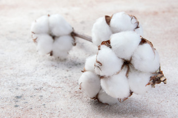Flowers of cotton on concrete background