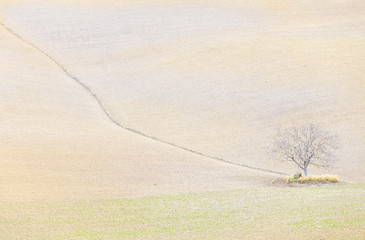 Lonely tree in the hills of Val d'Orcia, UNESCO World Heritage Site, Siena province, Tuscany, Italy, Europe