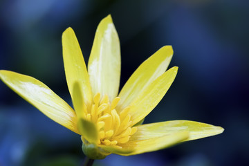 Gagea lutea close-up. Yellow Star-of-Bethlehem close-up. Small yellow primrose, first season spring flower, macro