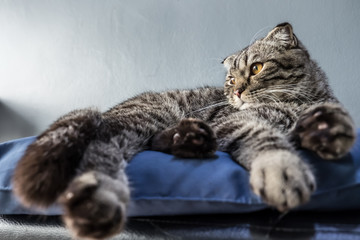 Portrait of grey cat cute relaxing