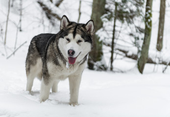 Young Alaskan Malamute Dog Standing in Snowy Forest. Portrait with Open Mouth