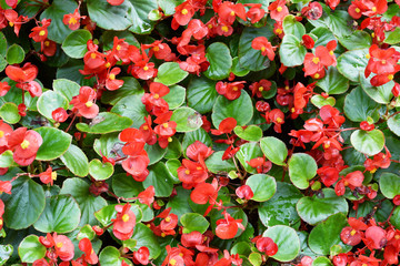Beautiful red begonia Flowers background