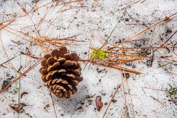 pine cones in the snow yosemite