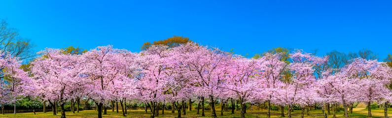 桜 パノラマ