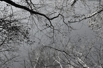 """tangled"" black and white push process trees with bare limbs photographed looking to the sky"
