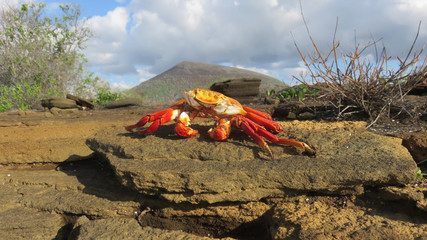 Sally Lightfoot Crab out of water
