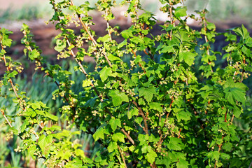 Low Bush currants in the spring.