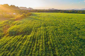Sugarcane plantation field aerial view with sunset light