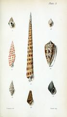 Illustration of shells.