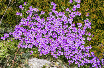 Heads of violet flowers