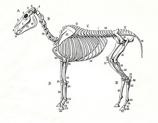 Skeleton of a horse (from Meyers Lexikon, 1896, 13/770/771)