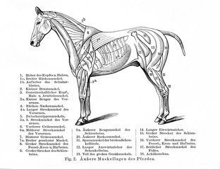 Horse's superficial muscles (from Meyers Lexikon, 1896, 13/770/771)