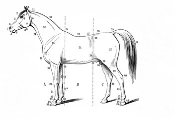 The look of the horse - exterieur (from Meyers Lexikon, 1896, 13/770/771)