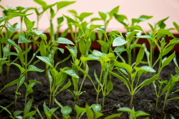 eggplant seedlings growing in a greenhouse - selective focus, copy space