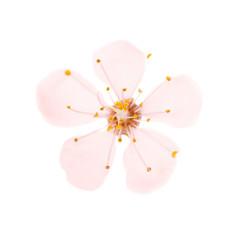 Pink flower from cherry tree isolated on white background. Macro studio shot