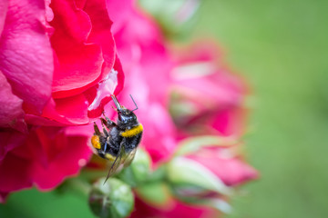 Close up of a bumblebee in mid-air next to a red garden rose.