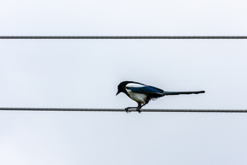 Graphic view of one black and white magpie bird sitting on a steel wire in profile.