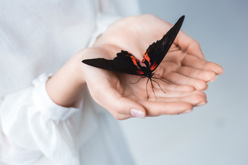 cropped view of woman with beautiful alive butterfly in hands, isolated on grey