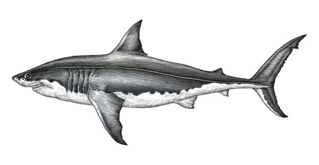 Great white shark hand drawing vintage engraving illustration