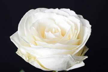 Biała róża - kwiat