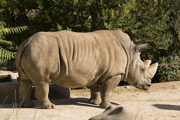 Rinoceronte blanco.