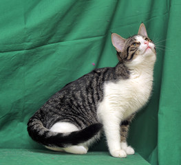 gray with white tabby cat on a green background