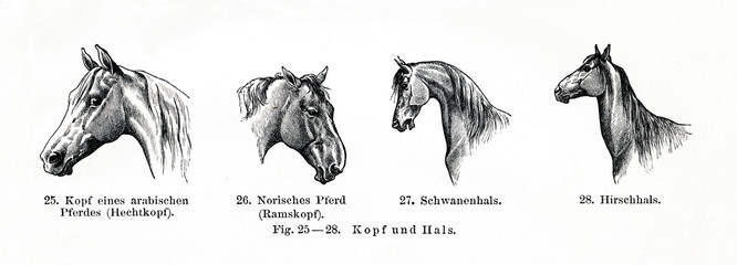 Equine conformation, head and neck (from Meyers Lexikon, 1896, 13/770/771)